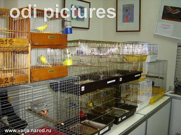 Канарейки и другие певчие птицы на выставке птиц в Москве.